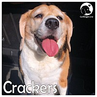 Beagle Dog for adoption in Pittsburgh, Pennsylvania - Crackers