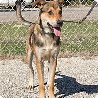 Adopt A Pet :: Sheppard - Norwalk, CT