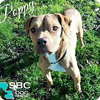 Adopt A Pet :: Poppy - Benton, LA