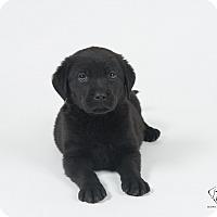 Adopt A Pet :: Puppies! - Henderson, NV