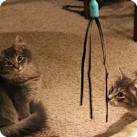 Adopt A Pet :: Silky and Cotton - St. Paul, MN
