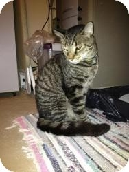Bengal Cat for adoption in Medford, New Jersey - King Tut