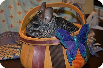 Chinchilla for adoption in Patchogue, New York - Smoochy