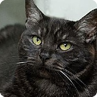Domestic Mediumhair Cat for adoption in Seal Beach, California - Fantasia