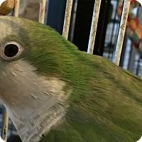Adopt A Pet :: Coo - Punta Gorda, FL