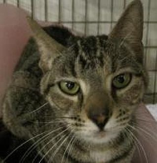 Domestic Shorthair Cat for adoption in Cleveland, Ohio - Lambchop
