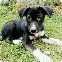 Adopt A Pet :: Sugar - Minneapolis, MN