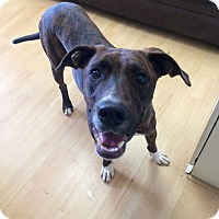 Adopt A Pet :: Baylor in CT - Manchester, CT