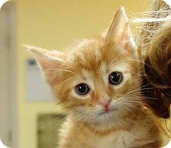 Domestic Shorthair Kitten for adoption in Greenfield, Indiana - Linus