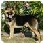 Photo 1 - German Shepherd Dog/Husky Mix Dog for adoption in Los Angeles, California - Billy von Haegele