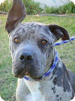 Shar Pei/Catahoula Leopard Dog Mix Dog for adoption in Red Bluff, California - Camo