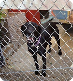 Labrador Retriever/Great Dane Mix Dog for adoption in Gustine, California - GIDGET