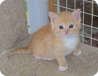 Maine Coon Kitten for adoption in Harrisburg, North Carolina - Simba