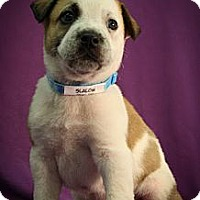 Adopt A Pet :: Slalom - Broomfield, CO