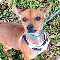 Adopt A Pet :: Goose - Houston, TX