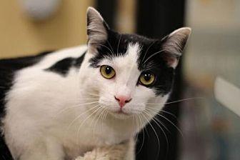 Domestic Shorthair Cat for adoption in Raleigh, North Carolina - Momochi