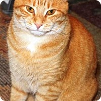 Domestic Shorthair Cat for adoption in Solebury, Pennsylvania - Miley Cyrus
