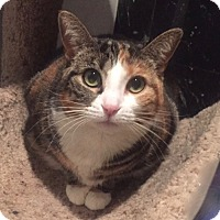 Domestic Shorthair Cat for adoption in Long Beach, New York - Haven