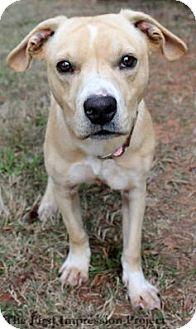 Labrador Retriever/American Staffordshire Terrier Mix Dog for adoption in Bardonia, New York - Rucker