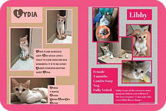Domestic Shorthair Cat for adoption in CLEVELAND, Ohio - Lydia
