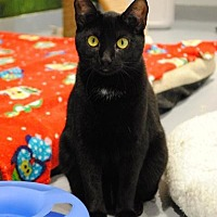 Domestic Shorthair Cat for adoption in Lafayette, New Jersey - Ella