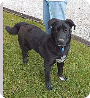 Shepherd (Unknown Type)/Chow Chow Mix Dog for adoption in Rootstown, Ohio - Zack