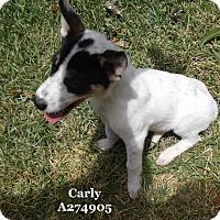 Adopt A Pet :: JUJU - Conroe, TX