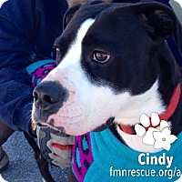 Boxer Mix Dog for adoption in Sarasota, Florida - Cindy