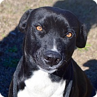 Adopt A Pet :: Blainey - Springfield, MA