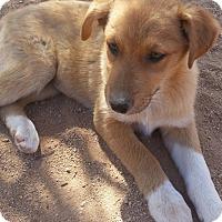 Adopt A Pet :: Zeva - Tucson, AZ