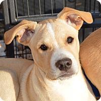 Adopt A Pet :: William - Plainfield, CT