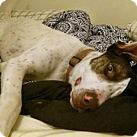 Pointer/Great Dane Mix Puppy for adoption in Albuquerque, New Mexico - Owen