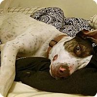 Adopt A Pet :: Owen - Albuquerque, NM