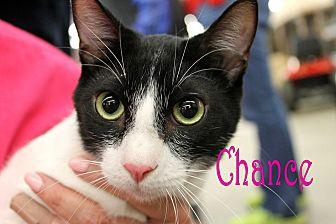 Domestic Shorthair Cat for adoption in Wichita Falls, Texas - Chance