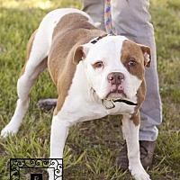 Adopt A Pet :: Spotsylvania Shelter #17-1445 'Debo' - Fredericksburg, VA