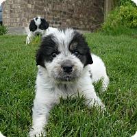 Adopt A Pet :: Bessie - Austin, TX