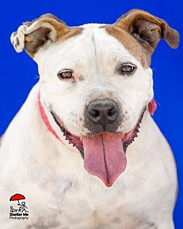 Pit Bull Terrier/American Staffordshire Terrier Mix Dog for adoption in Yoder, Colorado - Jersey