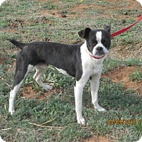 Boston Terrier Dog for adoption in Anton, Texas - Bos
