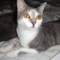Domestic Shorthair Kitten for adoption in Lawton, Oklahoma - MANDY