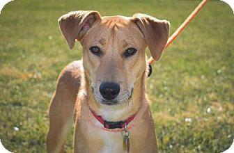 German Shorthaired Pointer/German Shepherd Dog Mix Dog for adoption in Wichita, Kansas - Duke