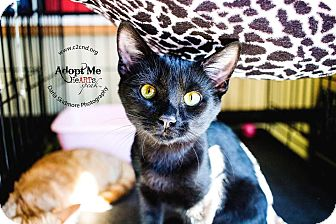 Domestic Shorthair Kitten for adoption in Charlotte, North Carolina - A..  Asher