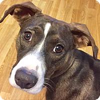 Adopt A Pet :: Octavia - West Hartford, CT
