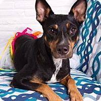 Adopt A Pet :: Saysha - Santa Fe, TX