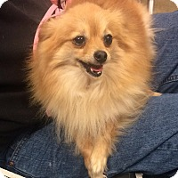 Adopt A Pet :: Poppy - Overland Park, KS