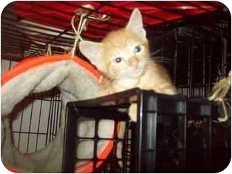 Domestic Shorthair Kitten for adoption in Little Neck, New York - sunshine