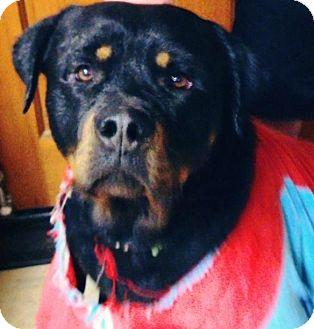 Rottweiler Dog for adoption in Gilbert, Arizona - Malachi