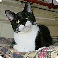 Adopt A Pet :: Bella Luce' - Plainville, MA