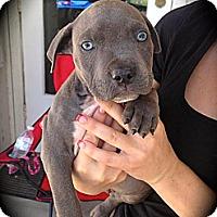 Adopt A Pet :: BamBam - Cypress, CA