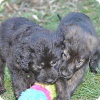Adopt A Pet :: Kenzie - Tumwater, WA