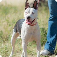 Bull Terrier Mix Dog for adoption in La Jolla, California - Lissy